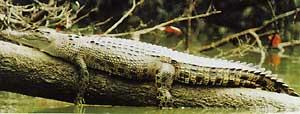 Alligator - sustainable tourism scene